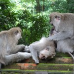 Macaques at Monkey Forrest, Ubud