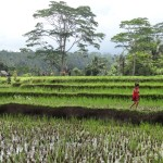 Rice fields around Ubud