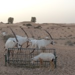 Oryx in Dubai desert conservation reserve