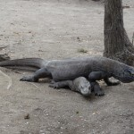 Komodo Dragons during mating season